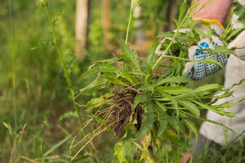Avoid adding perennial weeds