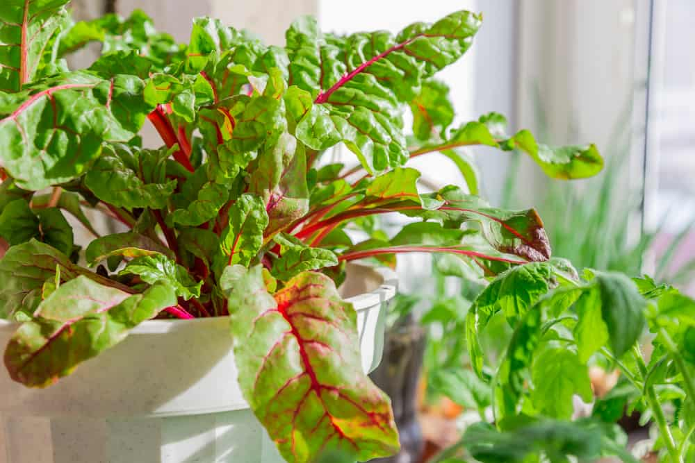 Grow Beets indoor