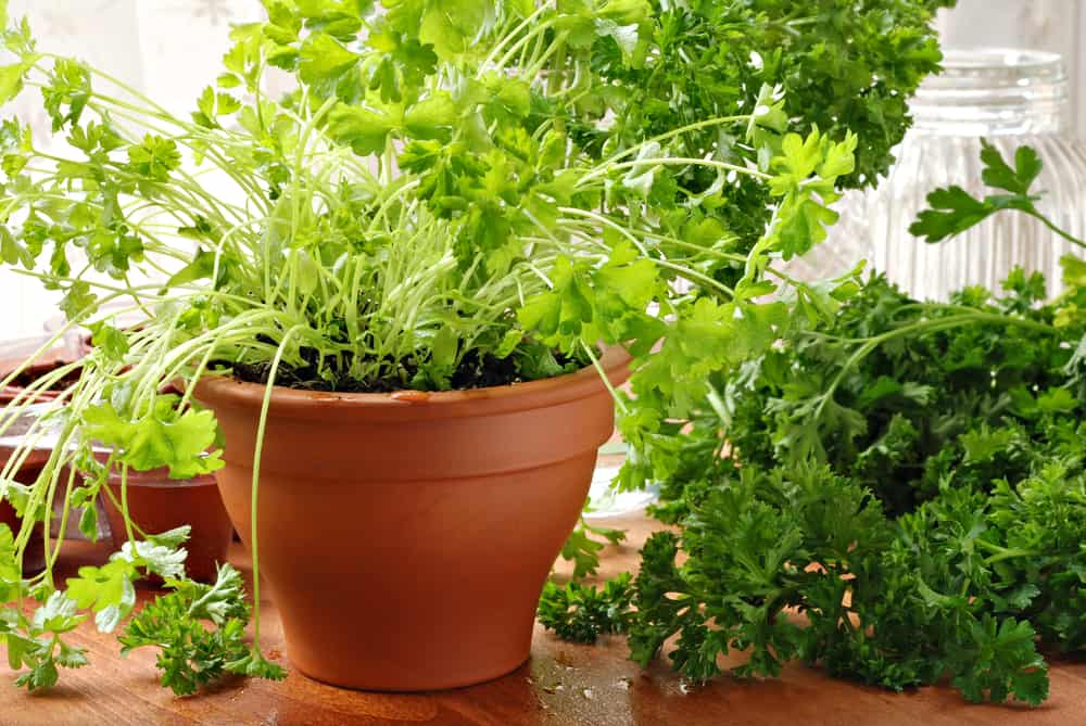 Parsley indoor