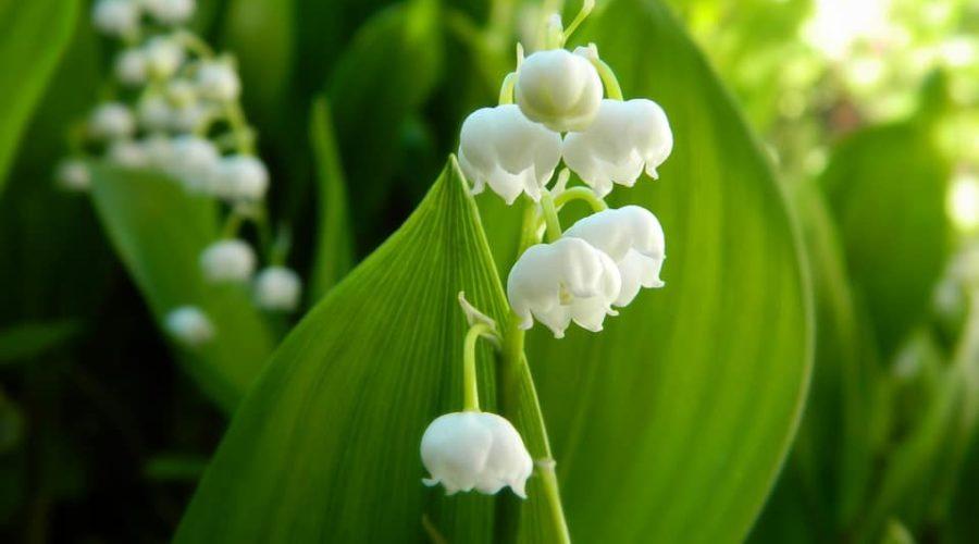 Poisonous Garden Plants