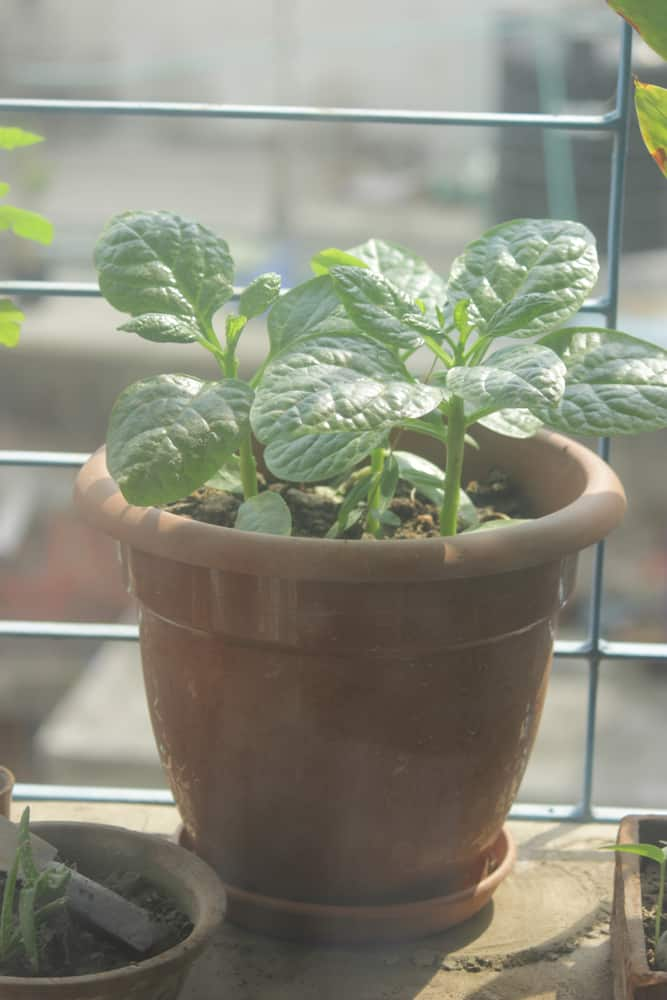 Spinach indoor
