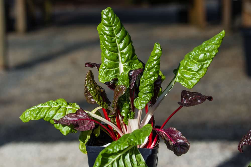 Swiss chard indoor