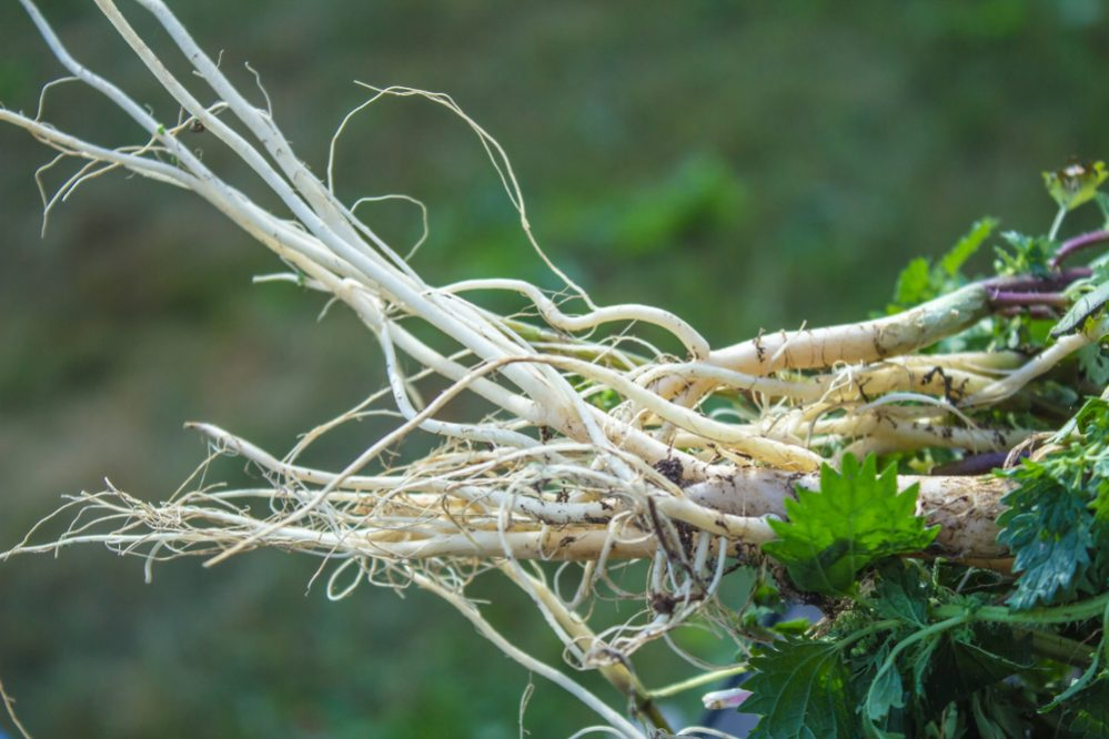 grow herb root