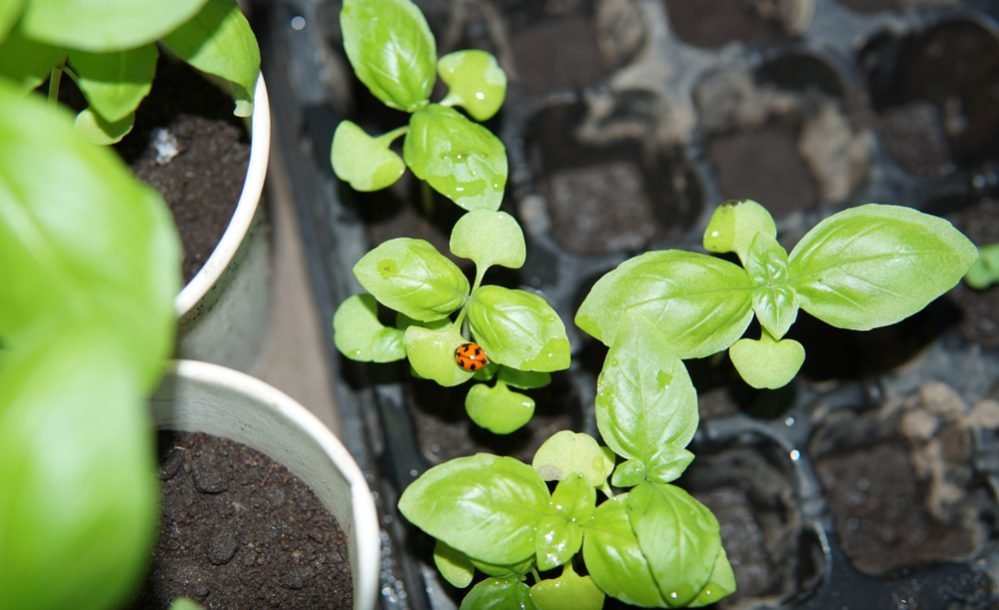 herb seedling