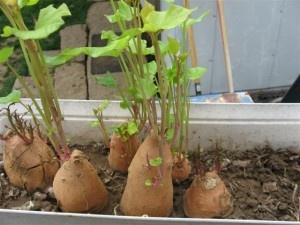 indoor container gardening garlic