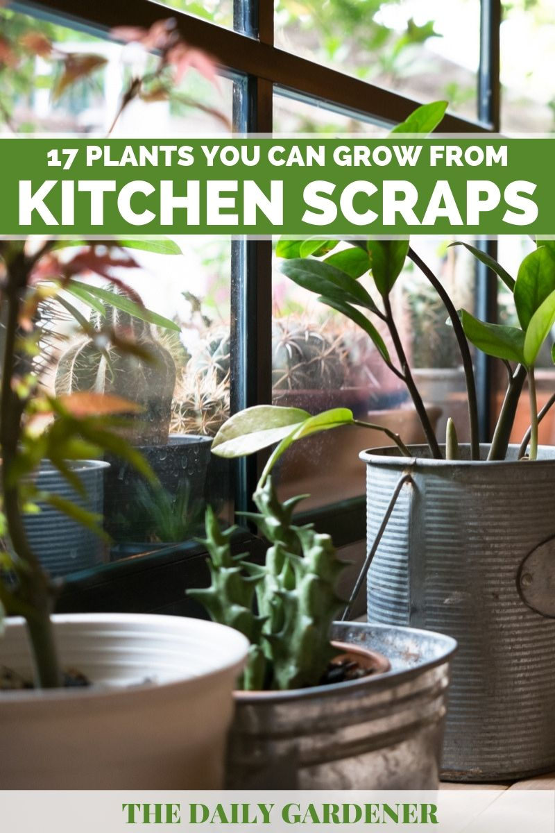 plants grow from kitchen scraps 1