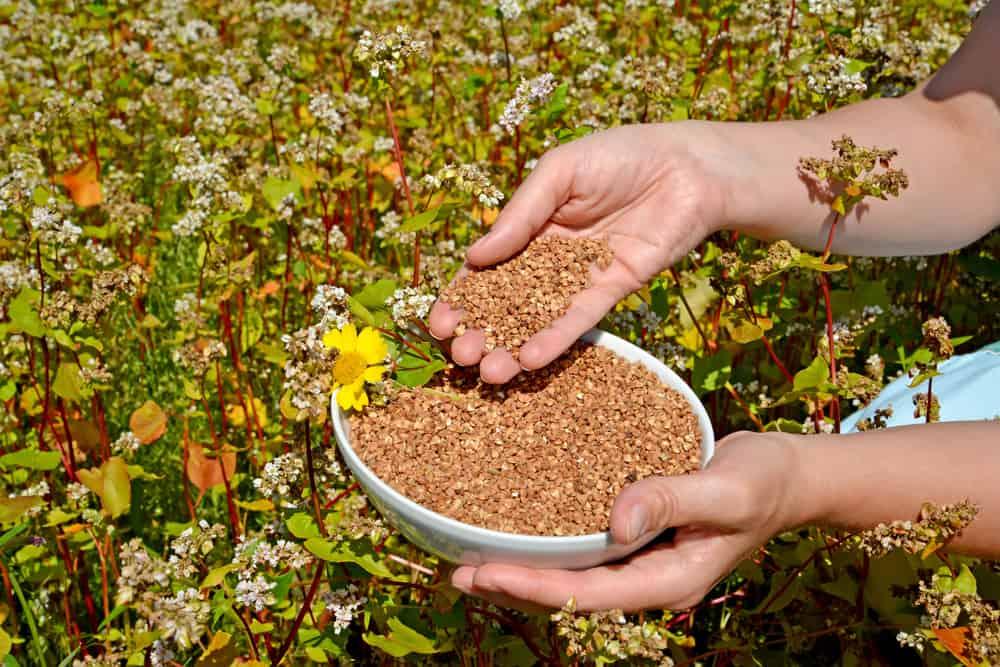Buckwheat Harvesting