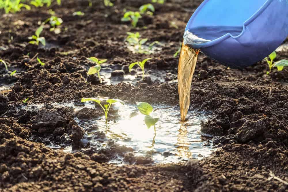 Calla Lilies Fertilizing