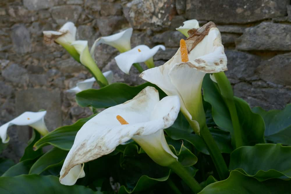 How To Grow Calla Lily Outdoor 4 Tips To Care The Daily Gardener