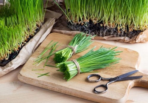 Growing Wheatgrass: A Trend of Healthy Juicing at Home