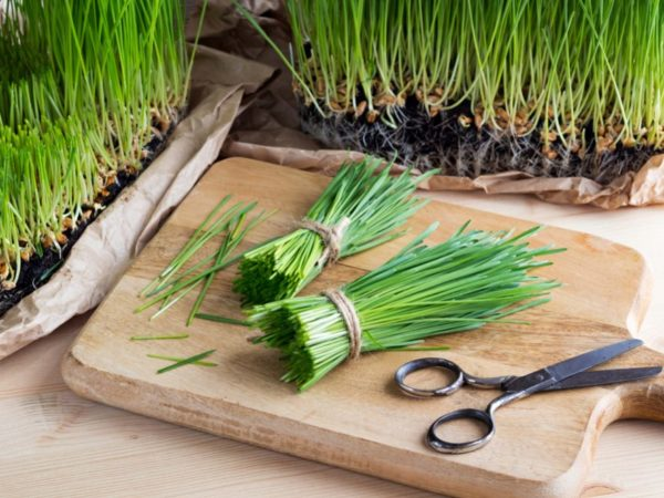 How to Grow Wheatgrass Indoor