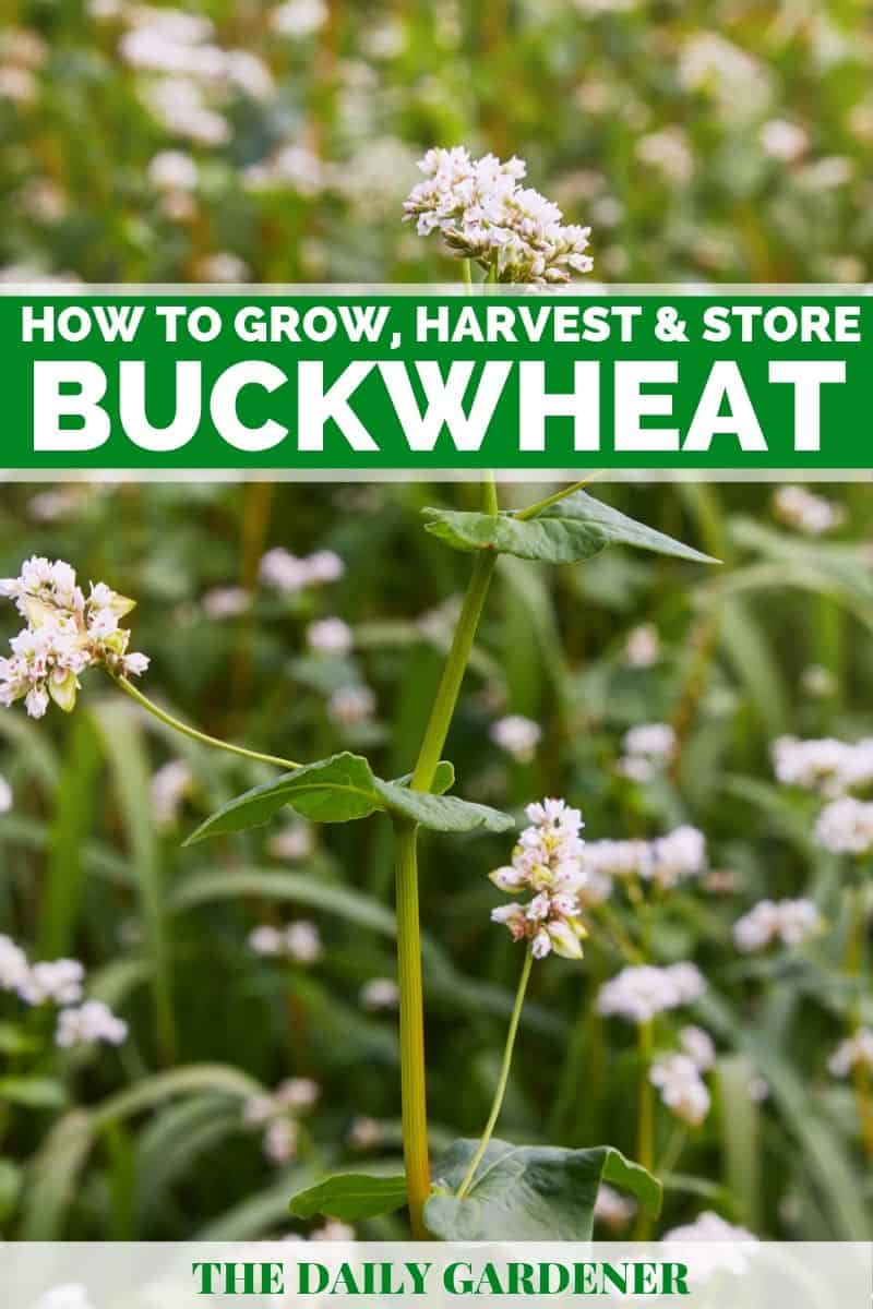 Growing Buckwheat 1
