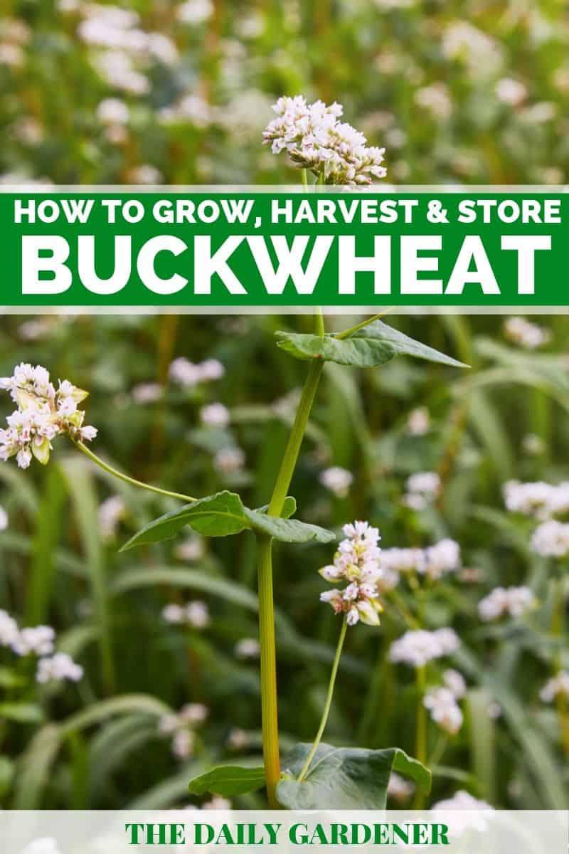 Growing Buckwheat 1