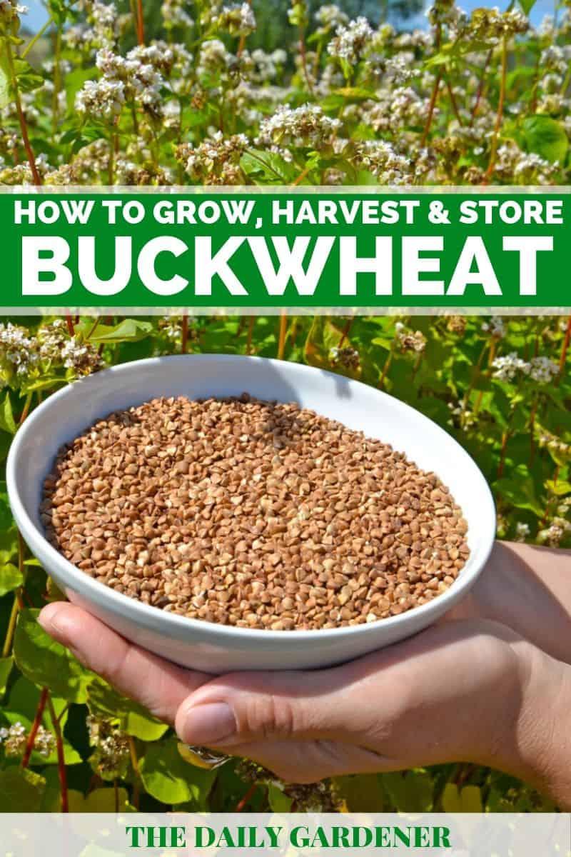 Growing Buckwheat 2