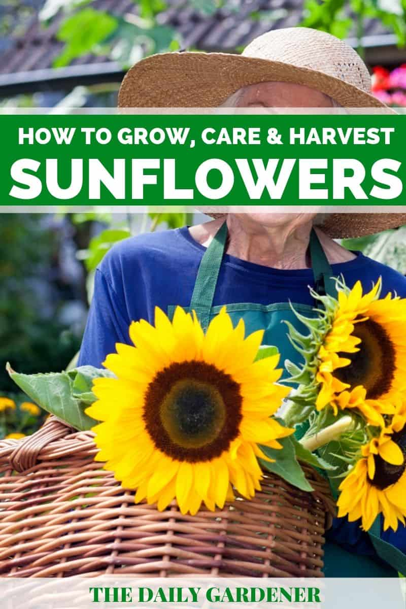 Growing Sunflowers pin 1