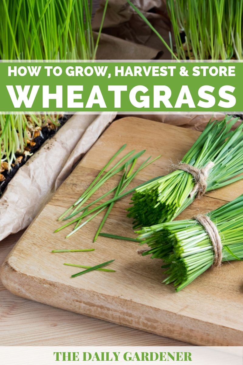 Growing Wheatgrass 1