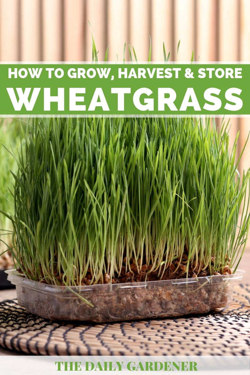 Growing Wheatgrass 2