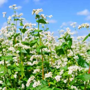 How to Grow Buckwheat Plant