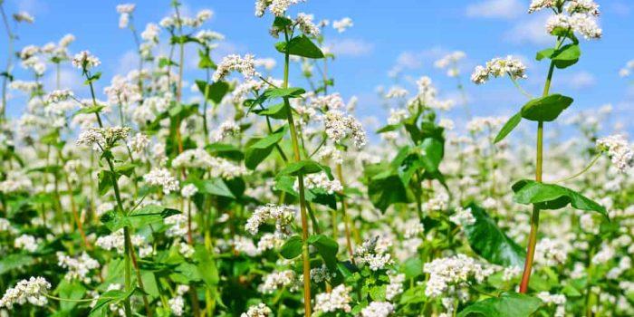 How to Grow Buckwheat Plant