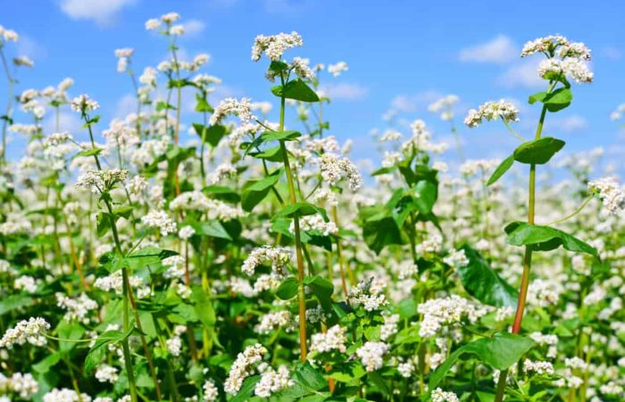 Growing Buckwheat: A Fantastic Plant that Can be Used as Tea