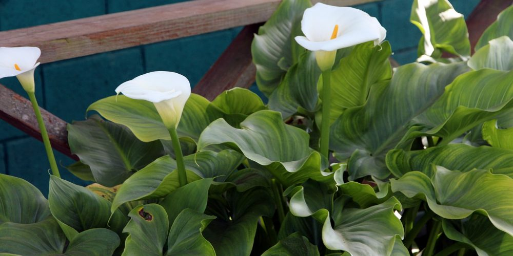 How to Grow Calla Lilies Outdoors? (4 Tips to Care)