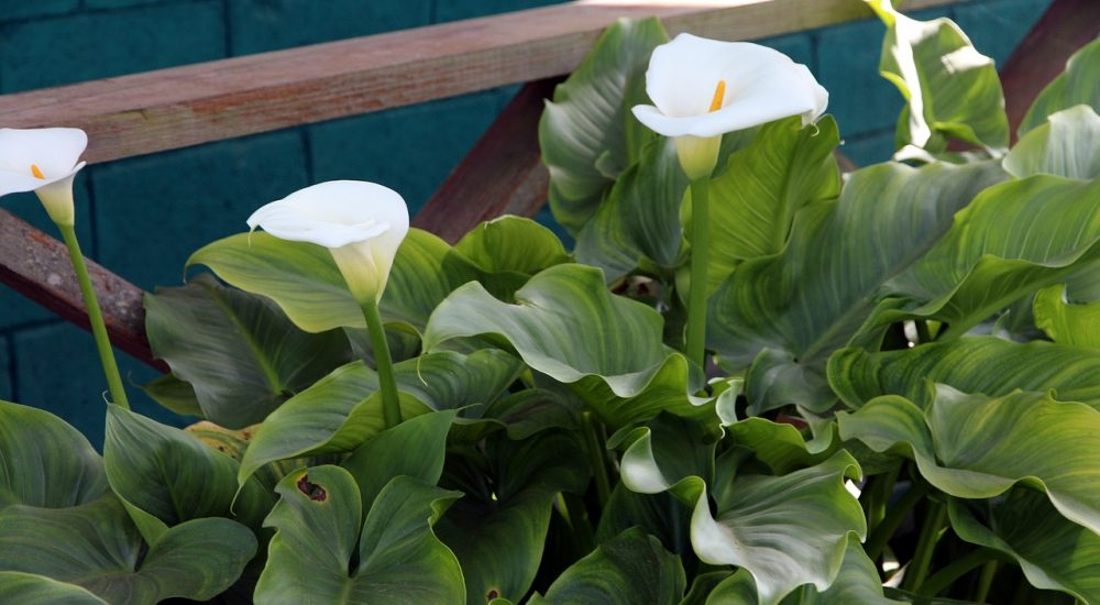 How to Grow Calla Lily Outdoor? (4 Tips to Care) - The Daily Gardener