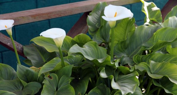 How to Grow Calla Lily Outdoor? (4 Tips to Care)