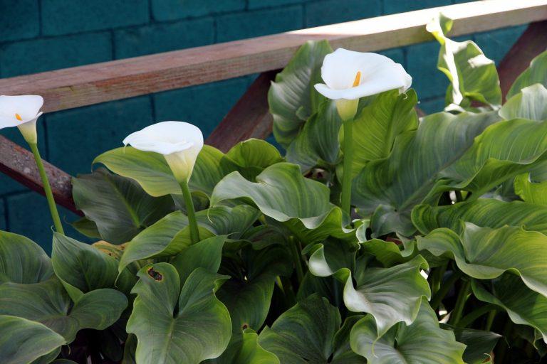 How to Grow Calla Lilies