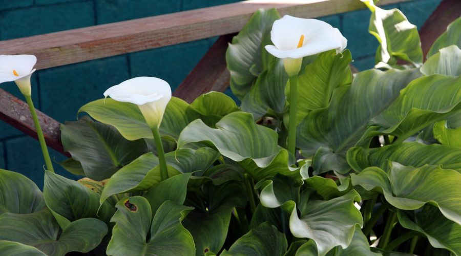 How to Grow Calla Lilies