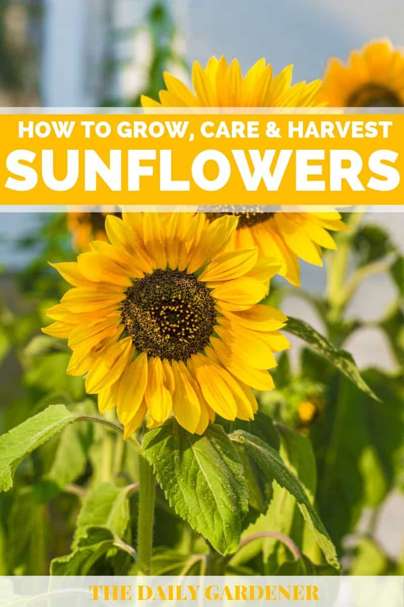 How to Grow Sunflowers in Your Garden