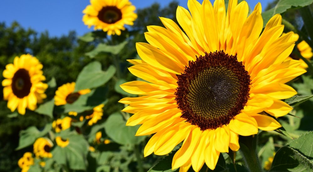 How to Grow Sunflowers in Your Garden? - The Daily Gardener