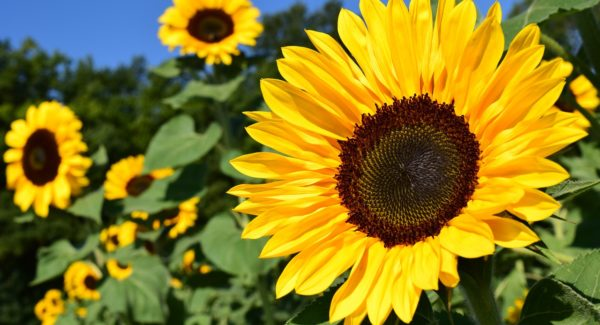 How to Grow Sunflowers in Your Garden?