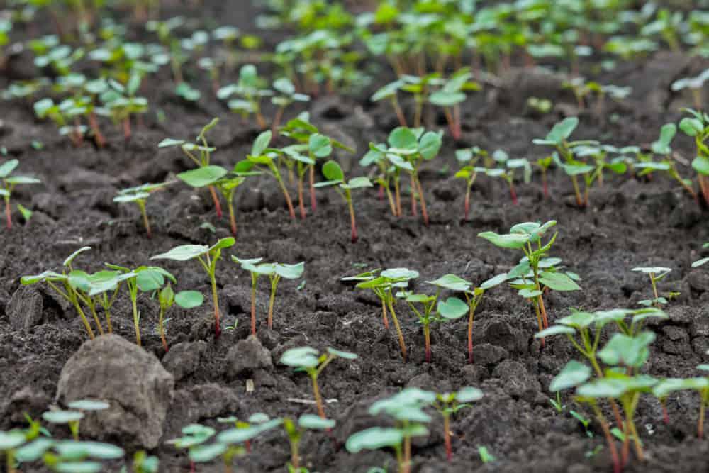 Prepare buckwheat Soil