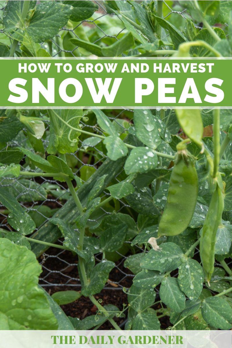 Snow Peas 4