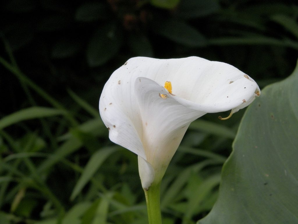 calla lilly Pests