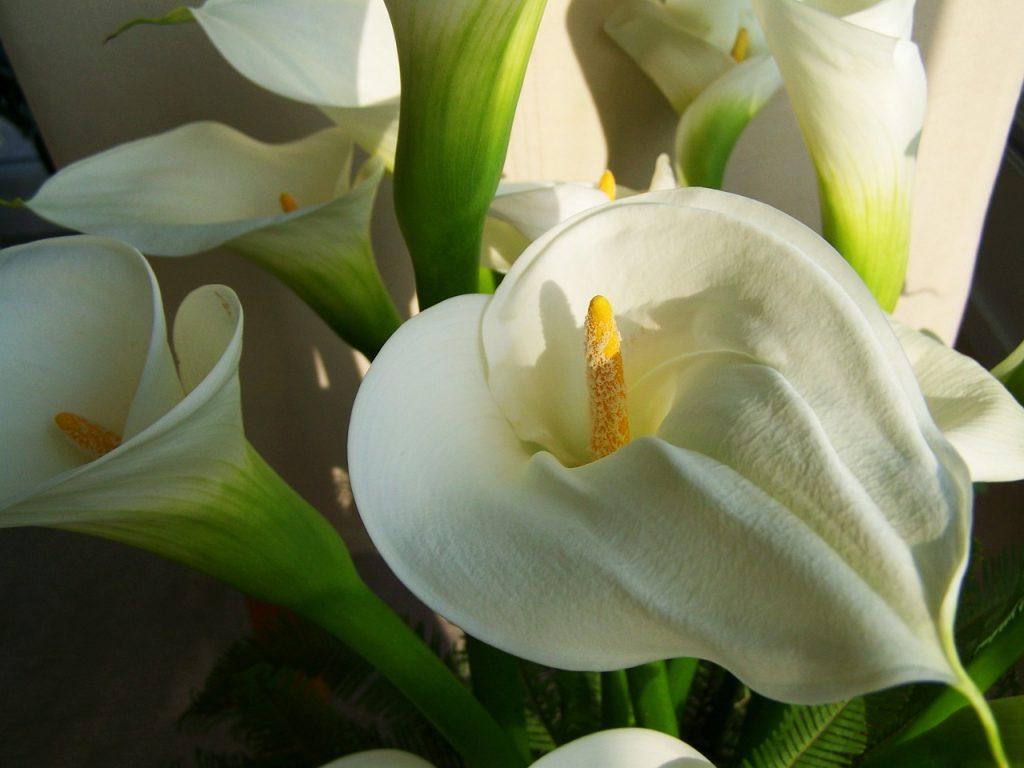 reason to Grow Calla Lilies