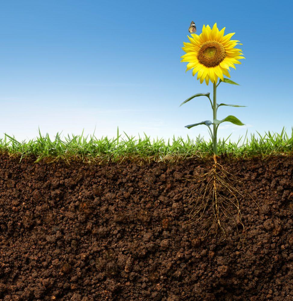 sunflower soil