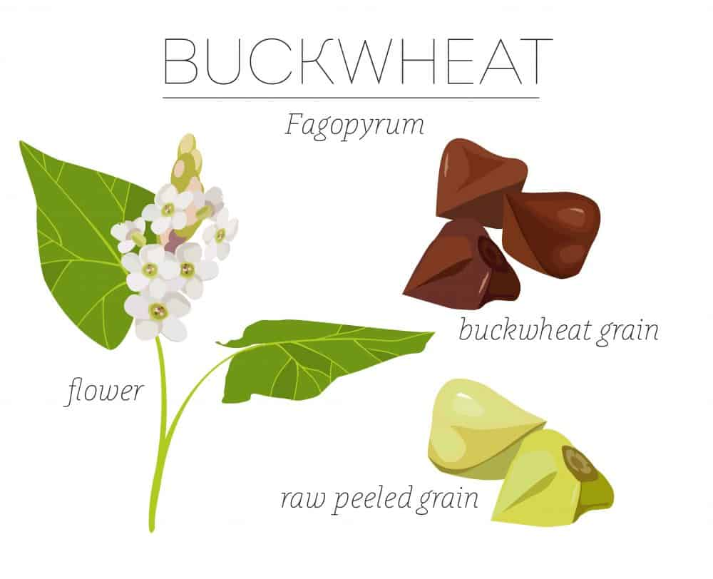 what is Buckwheat Plant