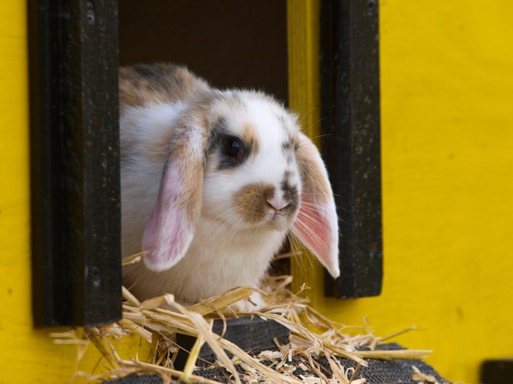 Best Rabbit Hutch for Outdoor & Indoor Design