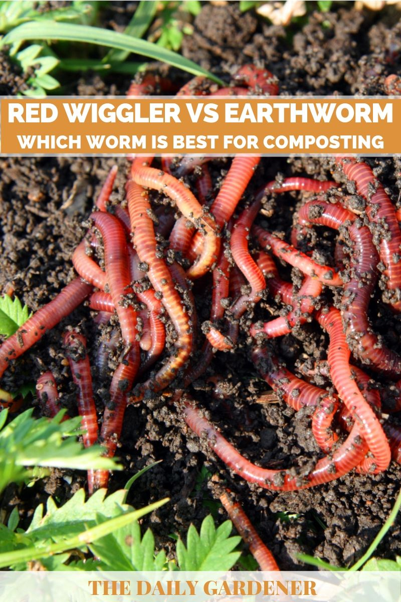 Red Wiggler vs Earthworm 1