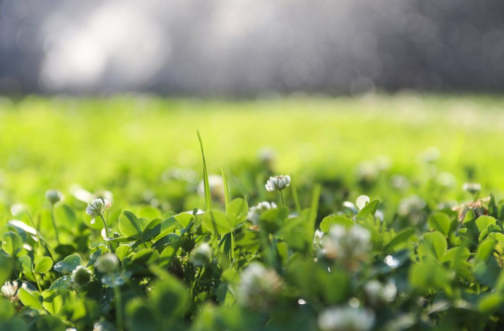 Clover Can Be Beneficial for Your Lawn