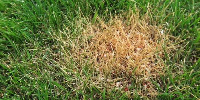 Fix Over Fertilized Lawn