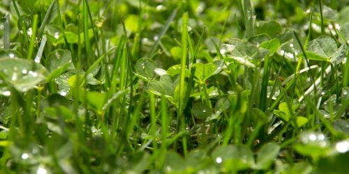 10 Tips to Get Rid of Clover in Your Lawn