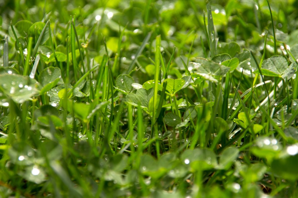 How Get Rid of Clover in Your Lawn