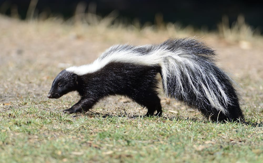 How to Stop Skunks from Digging Up Lawn
