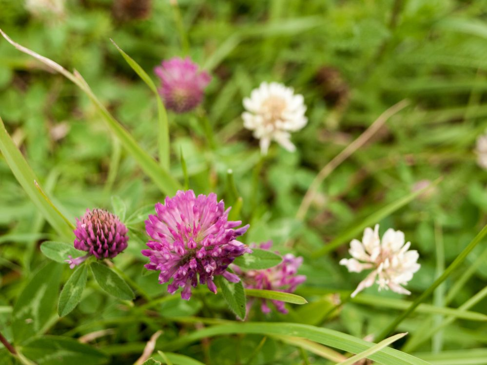 Identify Clover in Your Yard