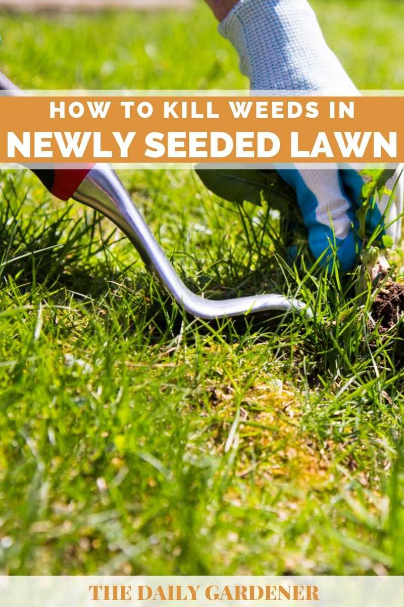 Kill Weeds in Newly Seeded Lawn 2