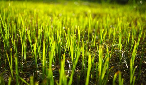 Kill Weeds in Newly Seeded Lawn