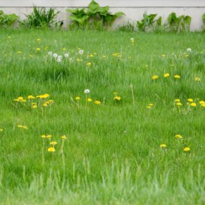 Restore a Lawn Full of Weeds