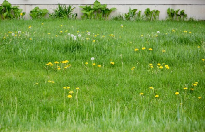 6 Easy Steps to Restore a Lawn Full of Weeds